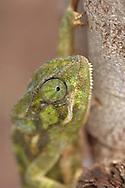 Chamaeleon, Chamaeleo chamaeleon, Tarangire NP, Tanzania