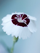 Dianthus 'Dainty Dame' - pink