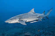 Lemon shark-Requin citron (Negaprion brevirostris), Moorea island, French Polynesia.