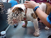 No, her name's not Spike! Bulldog left with FIVE HUNDRED quills stuck in her face after run in with a porcupine<br /> <br /> Bella Mae, a three-year-old bulldog from Oklahoma, learned a lesson she probably won't forget after she tangled with a porcupine and was left with 500 quills stuck in her face. <br /> Veterinarians in Norman undertook emergency surgery on her to remove the prickly spines from her head and her feet.<br /> Some of the quills are still inside her body, veterinarians believe, though she is now recovering from the attack. <br /> <br /> Jerry and Allison Noles told KWTV the bulldog was playing with their other pets near their pond on July 29, when they encountered an ambling porcupine.<br /> The bristly rodents are typically nocturnal, slow and passive.<br /> The Noleses believe the porcupine visited their pond to drink because water is becoming scarce in Oklahoma. <br /> They think Bella Mae got a little too close for comfort and provoked the animal's ire -- prompting the prickly attack. <br /> Doctors at the Animal Emergency Center worked on the operating table to dig the quills out of the bulldog's face, neck, legs and chest.<br /> The lucky pooch was not hit in the eyes. <br /> Veterinarian Leonardo Baez told KWTV he has never seen such a horrific porcupine attack against a pet before. <br /> 'I've seen some greyhounds and bird dogs come in (contact) with them, but it's not very often it happens, especially here in the city,' he said. <br /> Bella May remains on antibiotics because of the quills remain embedded in her skin, where veterinarians could not dig them out.<br /> ©Animal Emergency Center/Exclusivepix