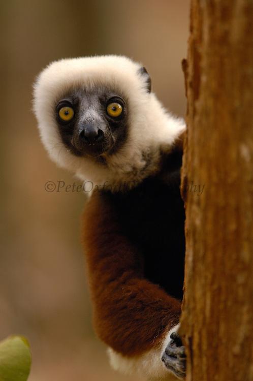 Coquerel's Sifaka (Propithecus coquereli) in western deciduous forest, Ankarafantsika Strict Nature Reserve, Madagascar