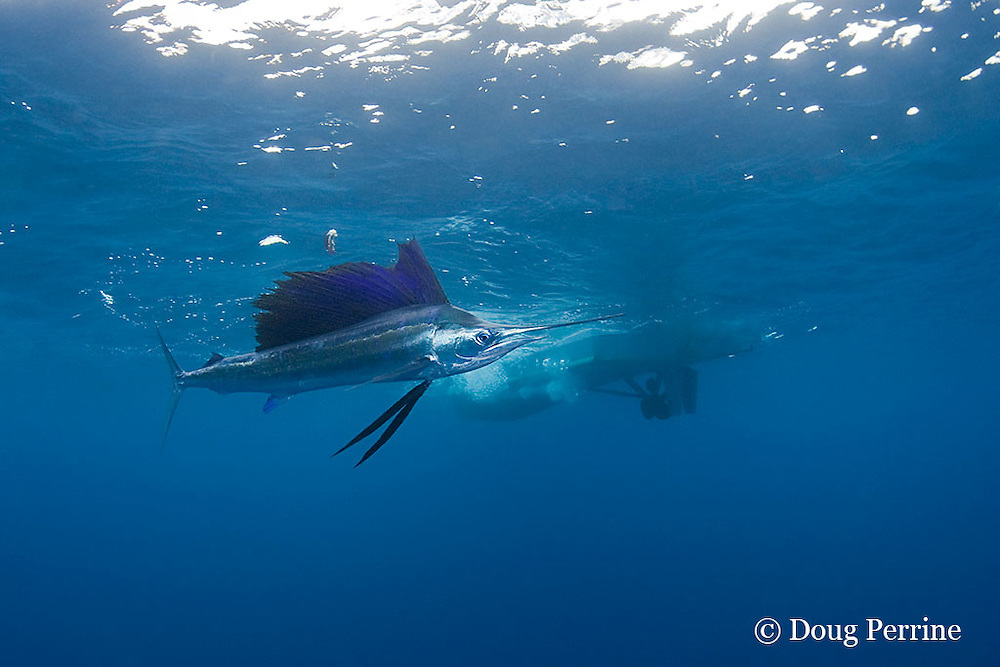 Atlantic sailfish, Istiophorus albicans ( considered by some to be a single species worldwide, Istiophorus platypterus ), behind fishing boat, off Yucatan Peninsula near Contoy Island and Isla Mujeres, Mexico ( Caribbean Sea )