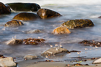 Norway, Sele. Rocky coastline, long exposure. A flock of Little Stint.