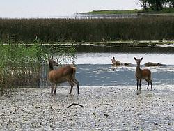 Irish Red Deer