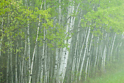 Trees in the parkland forest of western Manitoba.  Spring green on a rainy day.