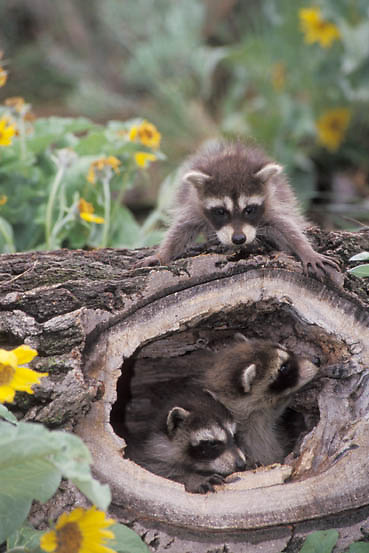 Raccoon, (Procyon lotor) Young in hollow log.Arrowleaf Balsamroot flowers in bloom. Montana. Captive Animal.