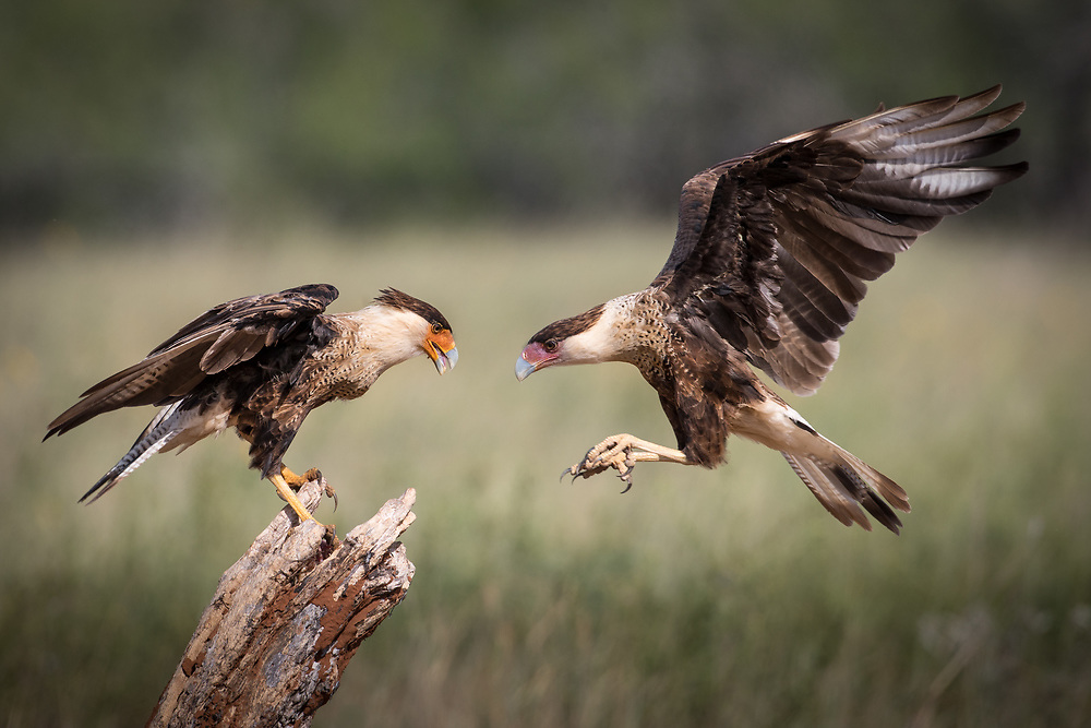 Caracara cheriway, juveniles, south Texas