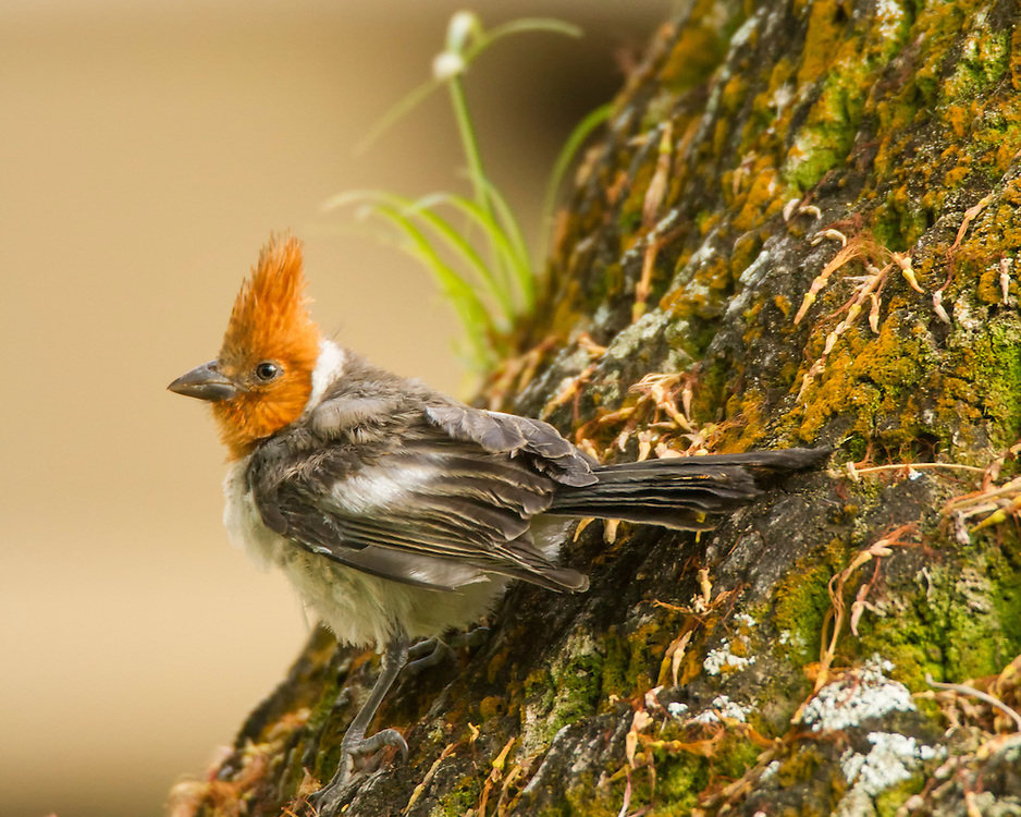 A Female Crested Cardinal In The Rain Forest