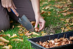 Planting crocus bulbs in grass using a trowel