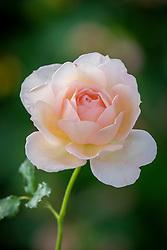 Rosa Chandos Beauty syn. 'Harmisty'
