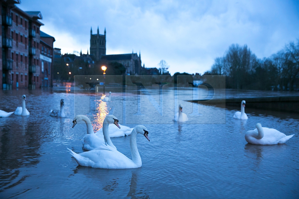 © Licensed to London News Pictures. 13/2/2014. Worcester, UK. The River Severn flowing through Worcester reaches an all time high. Pictured, swans on the street with a Cathedral background as dawn breaks. Photo credit : Dave Warren/LNP