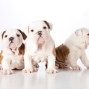 20110427English Bulldog Pups