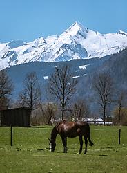 THEMENBILD - ein Pferd grast auf einer Wiese in Saalfelden mit Blick auf das schneebedeckte Kitzsteinhorn, aufgenommen am 20. April 2019, Saalfelden, Österreich // a horse on a meadow in Saalfelden with a view of the snow-capped Kitzsteinhorn on 2019/04/20, Saalfelden, Austria. EXPA Pictures © 2019, PhotoCredit: EXPA/ Stefanie Oberhauser