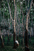 A woman farmer taps dripping resin from a rubber tree in a plantation on Pulau Langkawi Island, Malaysia. We see the lady surrounded by even rows of trees, all carefully spaced when planted. Each cool evening the tapper removes a thin layer of bark along a downward half spiral on the tree trunk. She makes an incision in the bark of the tree and fluid then drains into a collecting vessel. If done carefully and with skill, this tapping panel will yield latex for up to 5 years. Malaysia is one of the top exporters of natural rubber. Langkawi is an archipelago of 99 islands in the Andaman Sea, some 30 km off the mainland coast of northwestern Malaysia.