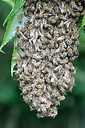 Close-up of a Honey Bee Swarm on a branch in a field near Postlip, Gloucestershire