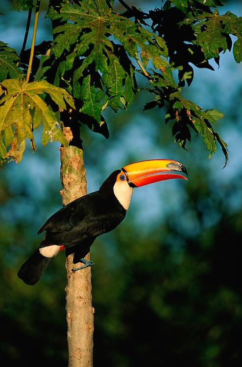 Toco Toucan, Ramphastos toco, Pantanal, Brazil