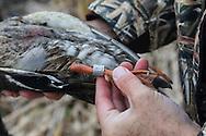 Waterfowl hunter examining banded mallard drake.