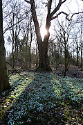 Shafts of early morning sunlight stream through silhouetted ancient trees to illuminate a carpet of Snowdrops (Galanthus nivalis) in the grounds of the now-derelict Nocton Hall, Lincolnshire.<br />
