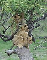 Young lions (Panthera leo) playing in a tree