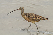 Long-billed Curlew, Bolsa Chica Wetlands