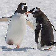 Gentoo penguin (Pygoscelis papua). Cuverville Island, Antarctica.