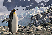 King penguin on shore standing near an glacier throws its wings back.
