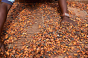 Freddy Akuffo sorts through his Cocoa beans. ..Freddy Akuffo has been a cocoa farmer since 1969 when he inherited his farm from his father. Since he received his training, as part of the Kraft Cocoa Partnership, Freddy has seen his yield increase from 180 bags of cocoa a year to 220.