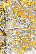 Snow covered Aspens