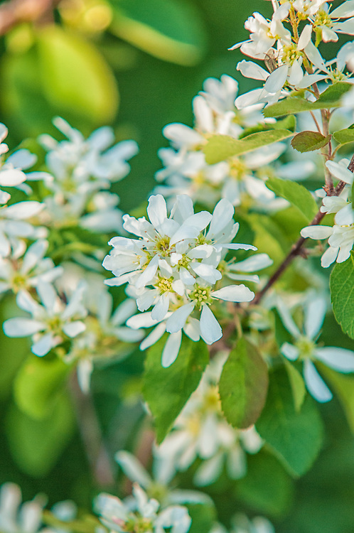 The western serviceberry is a native member of the rose family that grows as a small compact shrub. If North America was divided diagonally NW/SE - this service berry would be common in the NW part - especially in Western Canada. This one was photographed<br />