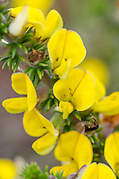 Yellow Aspalanthus flowers, Heuningberg Nature Reserve, Bredasdorp, Western Cape, South Africa