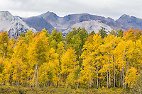 Turning of the aspen trees in the Raggeds Wilderness area during the autumn season, Colorado.