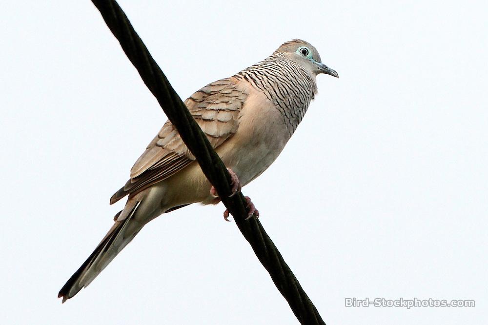 Peaceful Dove, Geopelia placida, Papua New Guinea, by Markus Lilje