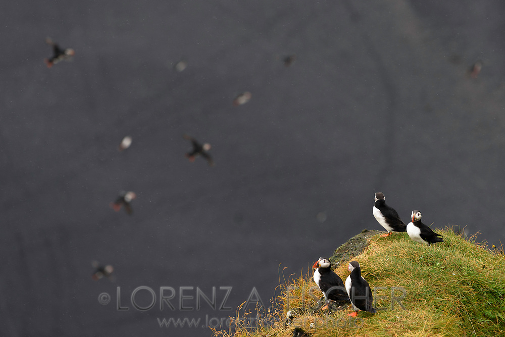 Common puffin (Fratercula arctica) on the peninsula Dyrholaey, Iceland