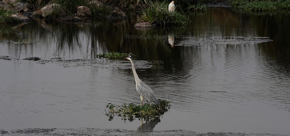 24-10-2008 REPORTAGE: KILIMANJARO CHALLENGE 2008: TANZANIA <br /> De dag van De Ngorongoro-krater, de grootste intakte caldera (ingestorte vulkaankegel) ter wereld. Hij bevindt zich ten noordwesten van Arusha in Tanzania / Wild, dieren, Natuur, vogels, Koereiger, Blauwe reiger<br /> ©2008-FotoHoogendoorn.nl