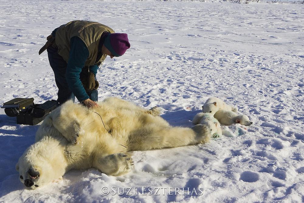 Polar Bear<br /> Ursus maritimus<br /> Polar bear biologist Nick Lunn examines an anesthetized adult female <br /> Wapusk National Park, Canada