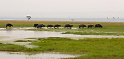 African Buffalos walk the marsh of Lake Nakuru, Kenya.