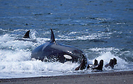 Killer whale ; Orca.Orcinus orca.Hunting South American sea lion pups. Punta Norte, Valdes Peninsula, Patagonia, Argentina