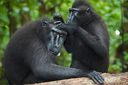 A dominant male Celebes Crested Macaque (Macaca nigra) being groomed by a female, Sulawesi, Indonesia