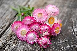 Bunch of Helichrysum bracteatum 'Silvery Rose'. Strawflower, Everlasting Flower, Immortelle