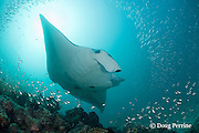 reef manta ray, Manta alfredi (formerly Manta birostris ), swims over cleaning station on patch reef with schooling fish, Hanifaru Bay entrance, Hanifaru Lagoon, Baa Atoll, Maldives ( Indian Ocean )