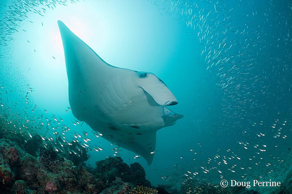 reef manta ray, Manta alfredi (formerly Manta birostris ), swims over cleaning station on patch reef with schooling fish, Hanifaru Bay entrance, Hanifaru Lagoon, Baa Atoll, Maldives ( Indian Ocean )