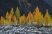 Alpine Larches (Larix lyallii) in autumn color. North Cascades Washington