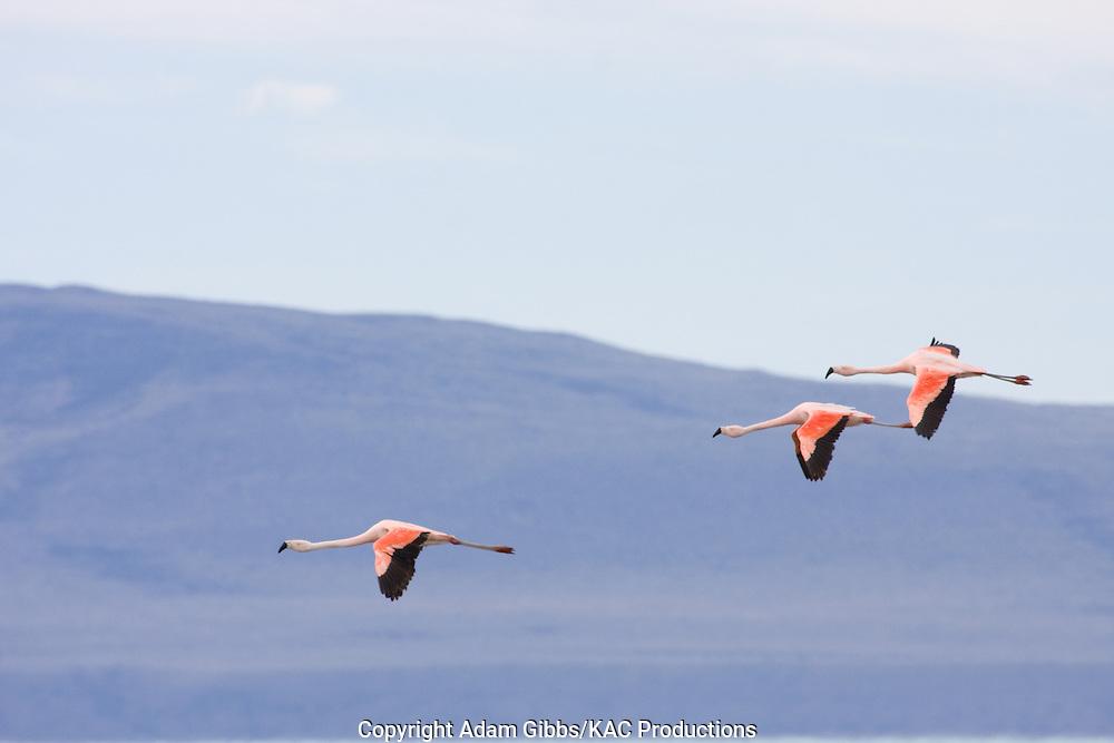 Chilean Flamingo; El Calafate; Laguna Nivez; Phoenicopterus Chilensis; Santa Cruz Province; South America, Argentina