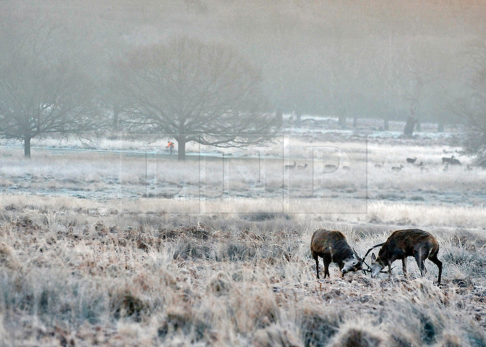 © Licensed to London News Pictures. 17/01/2012, Richmond, UK. Two young stags fight. Deer and frost during Sunrise at Richmond park on Tuesday 17th January 2011.  Photo credit : Stephen Simpson/LNP