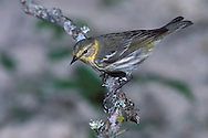 Cape May Warbler - Dendroica - Adult female