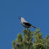 Clark's Nutcracker calls from the top of a white-bark pine.
