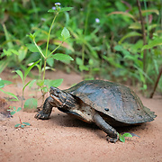 Oldham's leaf turtle (Cyclemys oldhamii  is a species of turtle in the family Geoemydidae.Seen here in Pang Sida National Park.