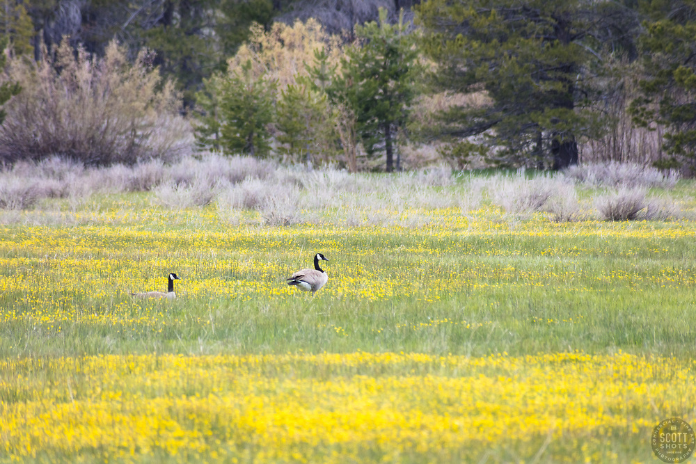 """""""Geese at Sagehen Meadows 2"""" - Photograph of two Canadian Geese relaxing in the Buttercup wildflowers at Sagehen Meadows near Truckee, California."""