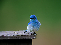 Mountain Bluebird (Sialia currucoides) male on nest box, Near Calgary, Alberta, Canada