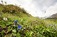 Trumpet Gentian (Gentiana clusii) on the trail between Arthurhaus and Erichhutte, Salzburger Almenweg, Salzburgerland, Austria © Rudolf Abraham